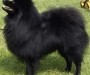 Stud Pomeranian