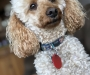 WANTED. FEMALE APRICOT POODLE