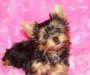 We have male and female Teacup puppies available