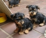 Yokie (Yorkshire Terrier) puppies ready now