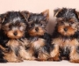 Yokie(Yorkshire Terrier)puppies price reduced
