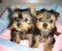 Yorkshire Terrier(Yorkie) Puppies