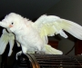 female Goffin cockatoo parrot for adoption