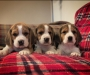 lovely Beagle puppies