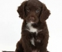 lovely Chocolate cocker spaniel puppies