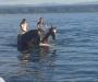 Pure Arab mare