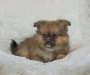 super charming Pomeranian pups available