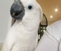 White pair of Cockatoo parrots